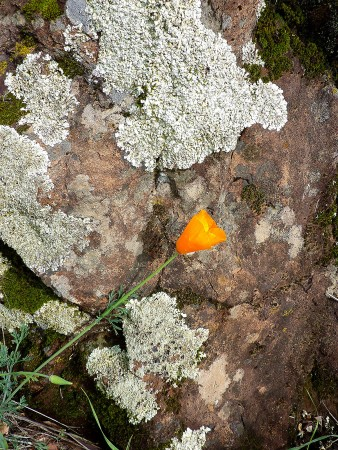 Poppy with a lichen-encrusted boulder.
