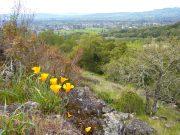 Poppies overlooking Sonoma.