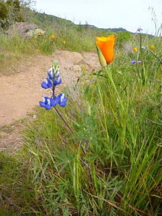 Lupine and Poppy trailside.