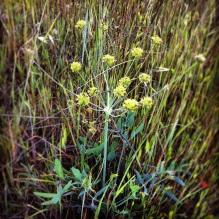 Apiaceae ?? (Wild celery)