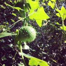 Marah fabaceus fabaceus (Wild cucumber)