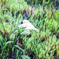 Achillea millefolium (inland Yarrow)