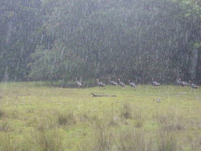 A flock of turkeys in the driving rain.