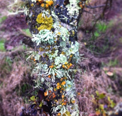 lichens - Upper Meadow