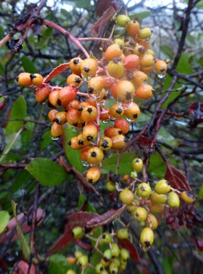 Ripening Toyon berries in the rain.