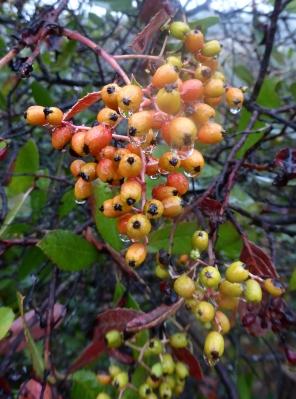 Ripening Toyon berries in the rain.