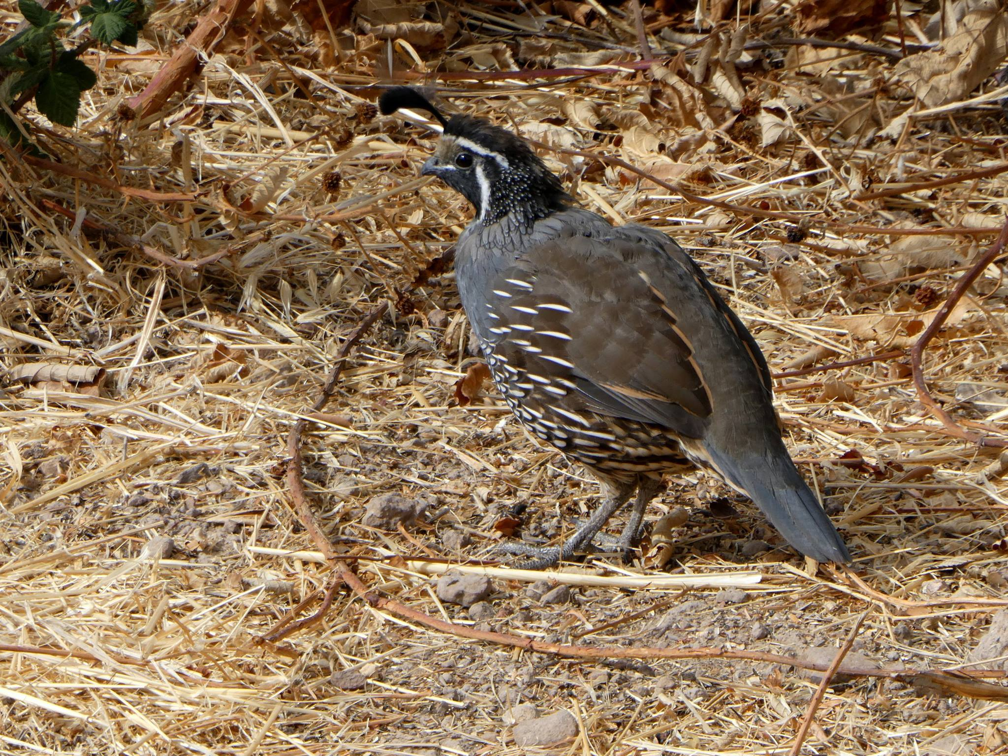 The California State Bird On The Montini Trail Sonoma Overlook And Montini Preserve Trails