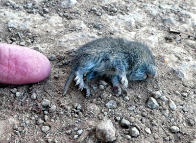 American shrew mole